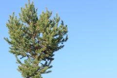 Ramificación verde del pino Fotos de archivo libres de regalías