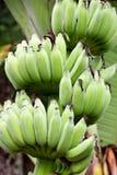 Ramificación verde del plátano Foto de archivo