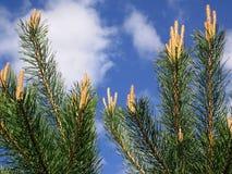 Ramificación verde joven del pino. Fotos de archivo