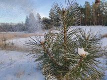 Ramificaci?n del pino en la nieve fotos de archivo libres de regalías