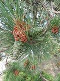 Ramificaci?n Spruce Conveniente para crear las tarjetas de Navidad, Año Nuevo presentationBeautiful de las hojas tropicales verde imagenes de archivo