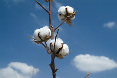 Ramificación del algodón Fotografía de archivo