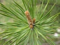 Ramificación del pino Fotografía de archivo