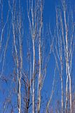 Ramificaciones altas, descubiertas de un árbol de plata Fotos de archivo libres de regalías