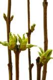 Ramificaciones con las hojas verdes Fotografía de archivo