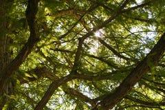 Ramificaciones de árbol Imagen de archivo