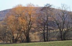 Ramificaciones de árbol amarillas en invierno Fotos de archivo libres de regalías