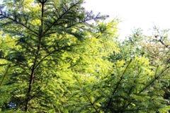 Ramificaciones de árbol con las hojas con nublado Foto de archivo libre de regalías
