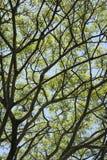 Ramificaciones de árbol con las hojas y el cielo. Foto de archivo libre de regalías