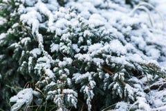 Ramificaciones de árbol de abeto de la nieve bajo nevadas Detalle del invierno Imagen de archivo