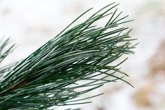 Ramificaciones de árbol de abeto de la nieve bajo nevadas Detalle del invierno Foto de archivo libre de regalías