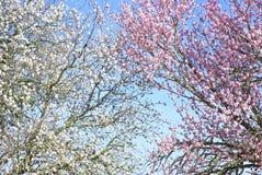 Ramificaciones de árbol de almendra. Fotografía de archivo
