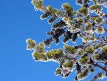 Ramificaciones de árbol de pino Fotografía de archivo