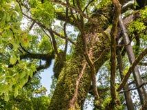 Ramificaciones de árbol grandes Foto de archivo