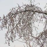Ramificaciones de árbol heladas Foto de archivo libre de regalías