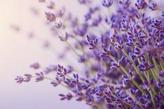 Ramificaciones de la lavanda floreciente Puede ser utilizado como fondo Imagenes de archivo