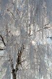 Ramificaciones de la nieve del invierno del árbol en un cielo azul Foto de archivo libre de regalías