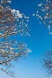 Ramificaciones de la nieve del invierno del árbol en un fondo del cielo azul Fotografía de archivo libre de regalías