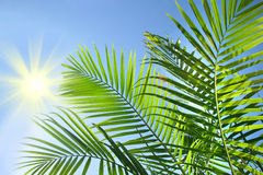 Ramificaciones de la palma en el sol Foto de archivo libre de regalías