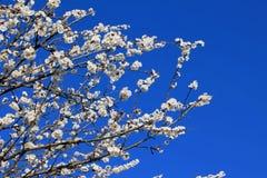 Ramificaciones de las flores del albaricoque Fotografía de archivo libre de regalías
