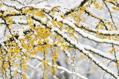 Ramificaciones de árbol del ginkgo del color del otoño con nieve Fotos de archivo