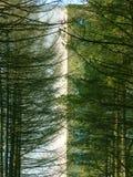 Ramificaciones de un árbol un pino Foto de archivo