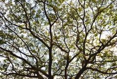 Ramificaciones del árbol Fotografía de archivo libre de regalías