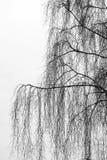 Ramificaciones del árbol de abedul Fotografía de archivo