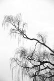 Ramificaciones del árbol de abedul Imagenes de archivo