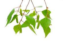 Ramificaciones del abedul con las hojas y los catkins de los jóvenes. Fotos de archivo