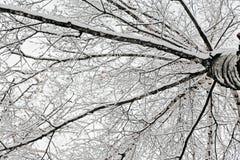 Ramificaciones del abedul cubiertas con nieve Fotografía de archivo libre de regalías