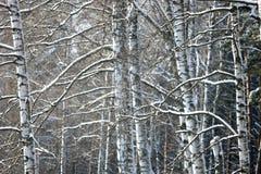 Ramificaciones del abedul cubiertas con nieve Imagen de archivo