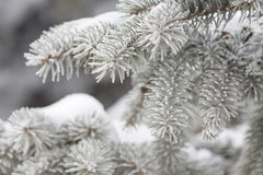 Ramificaciones del abeto cubiertas con nieve Imagen de archivo