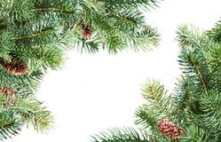 Ramificaciones del pino Fotos de archivo