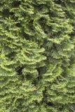 Ramificaciones del pino Imagen de archivo libre de regalías