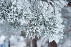 Ramificaciones del pino con escarcha Fotos de archivo