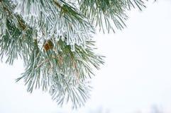 Ramificaciones del pino con escarcha Imagen de archivo libre de regalías