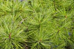Ramificaciones del pino con las agujas verdes claras Foto de archivo libre de regalías