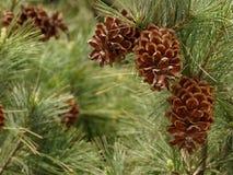 Ramificaciones del pino con los conos Foto de archivo libre de regalías