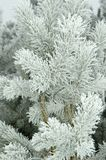 Ramificaciones del pino cubiertas por helada fresca Fotografía de archivo