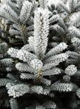 Ramificaciones del pino del invierno fotografía de archivo libre de regalías
