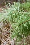 Ramificaciones del pino en carámbanos imagenes de archivo