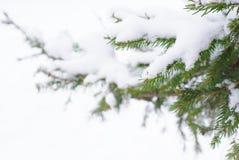 Ramificaciones del pino en la nieve Foto de archivo