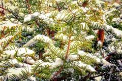 Ramificaciones del tejo en la nieve del invierno Fotos de archivo libres de regalías