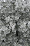 Ramificaciones escarchadas del pino fotografía de archivo libre de regalías