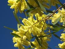 Ramificaciones florecidas del mimosa imagen de archivo libre de regalías