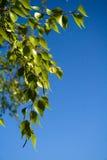 Ramificaciones frondosas del árbol de abedul Foto de archivo libre de regalías
