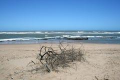 Ramificaciones muertas en la playa Imagen de archivo libre de regalías