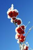 ramificaciones rojas de la Ceniza-baya bajo nieve Foto de archivo
