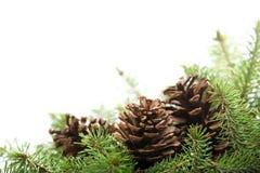 Ramificaciones Spruce con los conos del pino foto de archivo libre de regalías